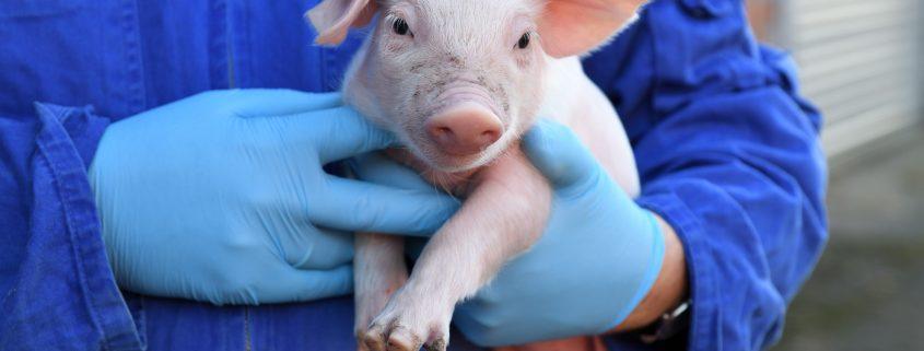Bei der Afrikanischen Schweinepest in Deutschland kann LANXESS helfen